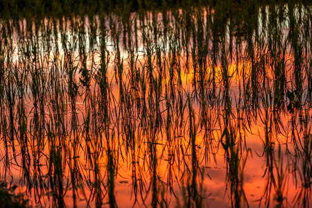 lit image: Rice paddy lit from sunset showing red, orange, yellow reflection. horizontal texture and background image