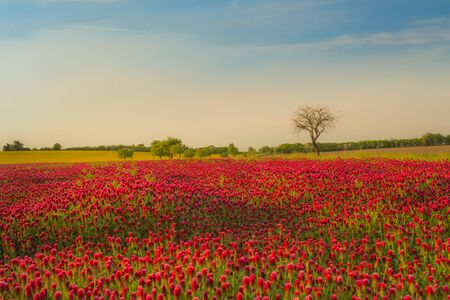 red clover: Trifolium pratense , red clover fields mixed with green grass against the blue sky. texture, background, horizontal Stock Photo