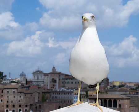 European herring gull (Larus argentatus) looks leftside with European city in the background