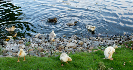 A pack of wild ducks or mallards (anas platyrhynchos) walking around the stone pond shore