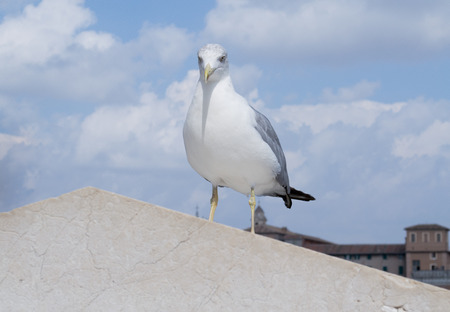 Inspirational image of european herring gull (Larus argentatus) looking right ahead with european city in the background