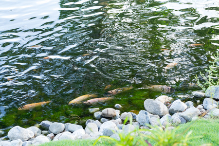 A pack of rainbow trouts (oncorhynchus mykiss) swimming in the pool surrounded with natural stones Stock Photo