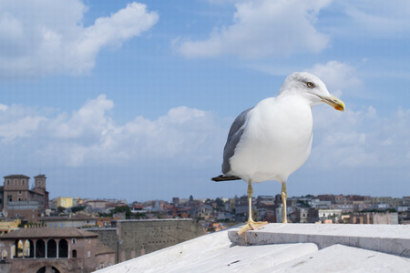 European herring gull (Larus argentatus) is watching you while statying on the roof of european style house in Rome, Italy