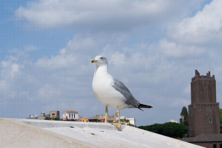 Inspirational image of european herring gull (Larus argentatus) looking leftside with european city in the background