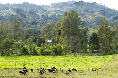 Rural picturesque landscape with grazing cows in Latin America