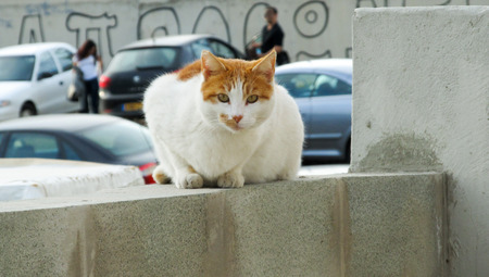 Brown and white European (Celtic) shorthair cat sitting on the stone edge Stock Photo - 60456786