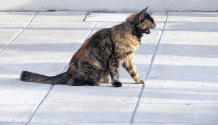 Brown European (Celtic) shorthair cat wanders around on the street