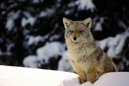 gray wolf black and white: Winter wolf sits atop a snow bank, waiting. Stock Photo