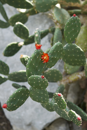 opuntia branch with red flowers