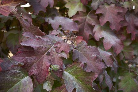 Hydrangea quercifolia foliage  Stock Photo