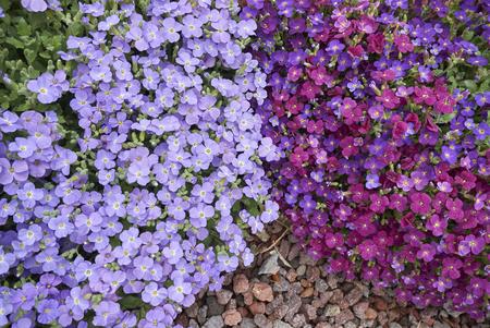 オーブリエタの花序