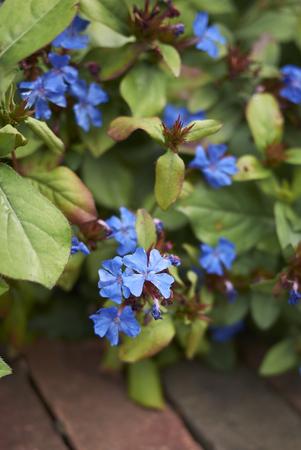 plants with blue flowers Archivio Fotografico