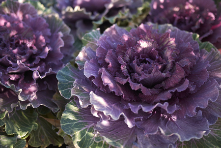 ornamental kale close up  Stock Photo