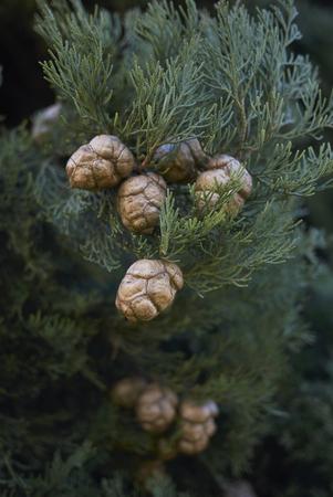 Italian cypress branch Reklamní fotografie