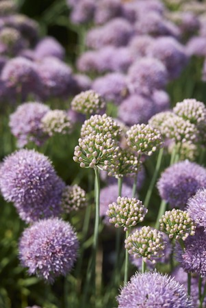 Allium senescens blooming