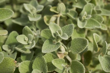 Ballota pseudodictamnus plants Stock Photo