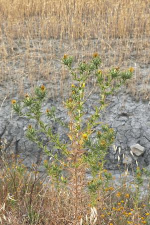 Carthamus lanatus plant