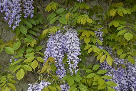 Wisteria sinensis blossom   Stock Photo