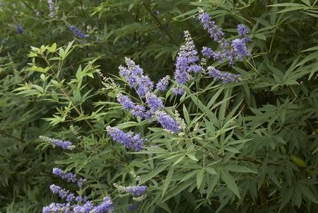 Vitex agnus-castus   shrub
