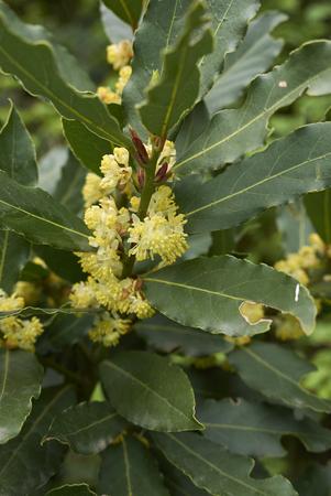 Laurus nobilis  flowers