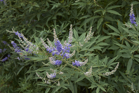 Vitex agnus-castus   shrub  Stock Photo