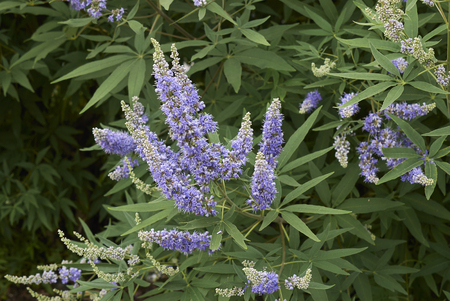 Vitex agnus-castus   shrub  Фото со стока