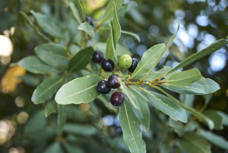 Laurus nobilis  branch