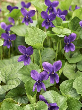 Viola odorata blooming  Stock Photo
