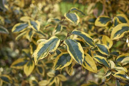 Elaeagnus pungens maculata branch