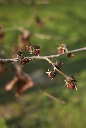 Parrotia persica blossom Stock Photo