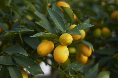 kumquats branches stock photo picture and royalty free image image