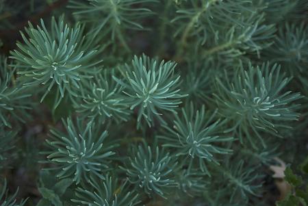 Euphorbia cyparissias  close up