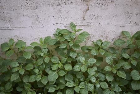Parietaria officinalis plants