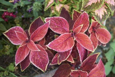 coleus colorful foliage Stock Photo