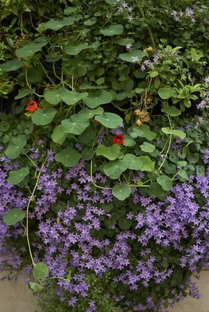 Campanula portenschlagiana blossom