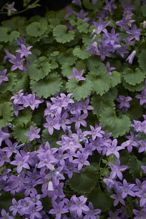 Campanula portenschlagiana blossom  Stock Photo