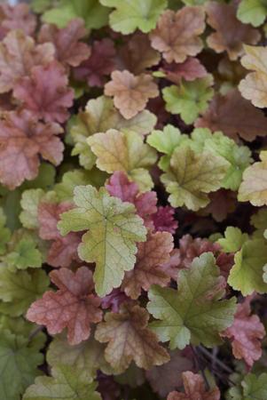 Heuchera multicolored foliage Banco de Imagens