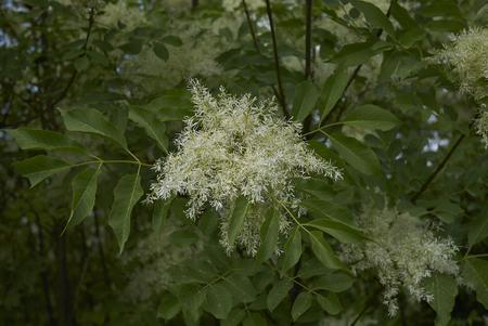 Fraxinus ornus blossom Stock Photo