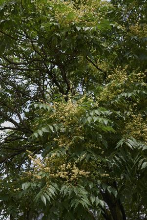 Ailanthus altissima blossom Stock Photo