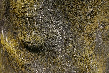 Ailanthus altissima bark