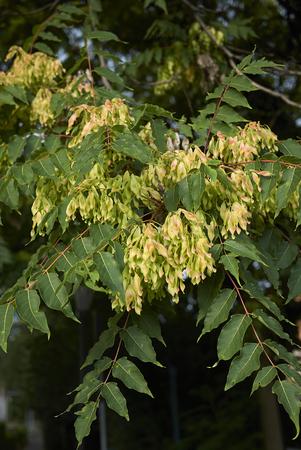 fruit of Ailanthus altissima