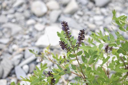 Amorpha fruticosa plant Banque d'images