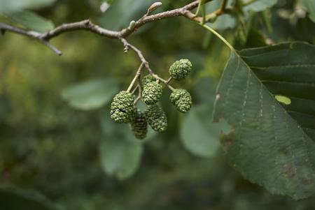 Alnus glutinosa plant