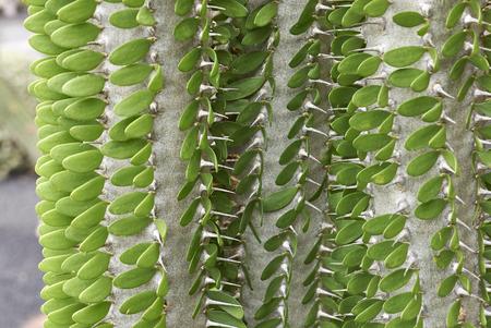 Alluadia Procera plant