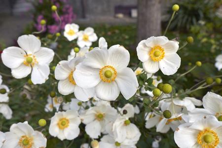 Anemone japonica plant Archivio Fotografico - 107600893