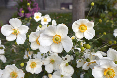 Anemone japonica plant