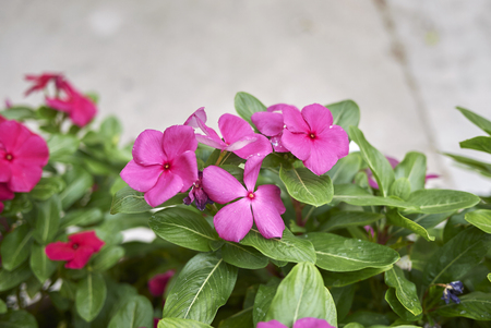 Catharanthus red pink flowers