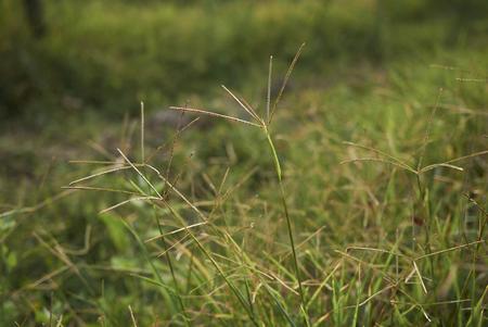 Cynodon dactylon plant