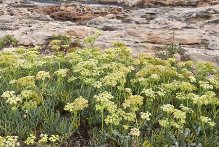 Crithmum maritimum plant