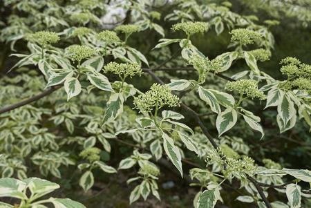 Cornus controversa plant Imagens